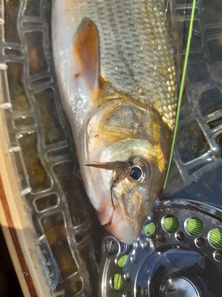 Hledáme nejhezčí českou rybu. Zvolíte kapra, lipana nebo jiný druh?