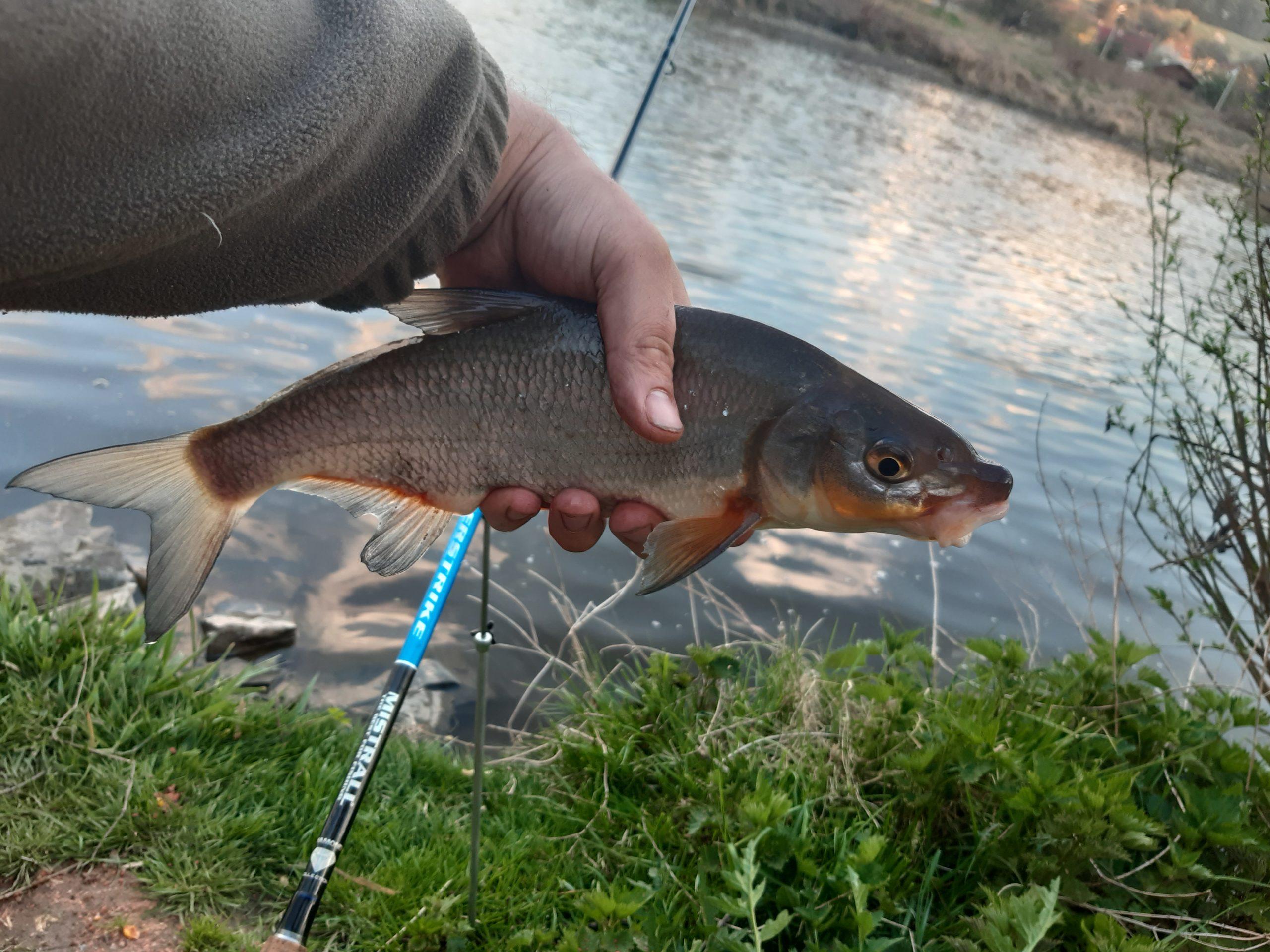Severočeský ÚS bude příští rok celoročně hájit více druhů ryb