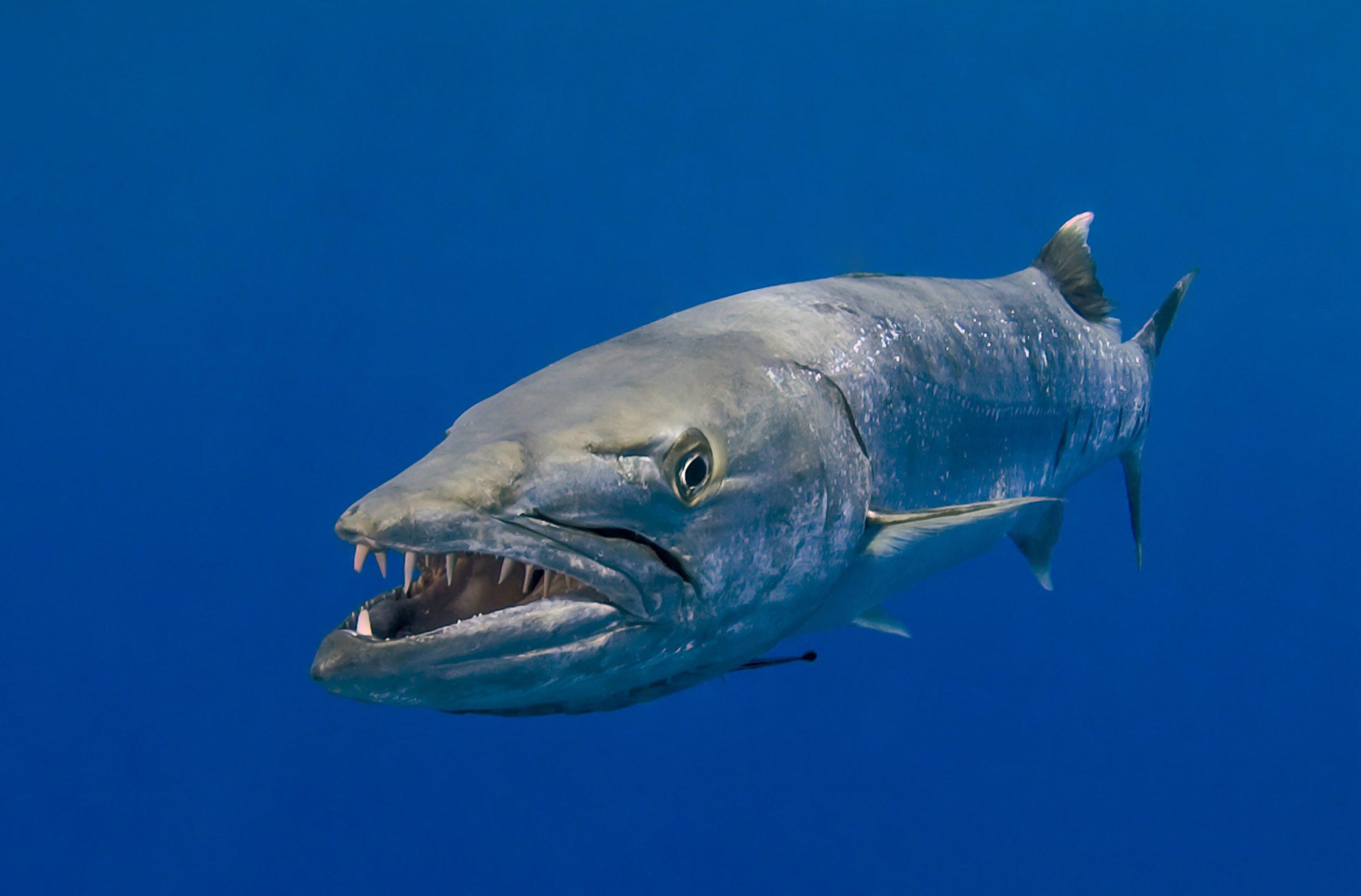 Barakuda zaútočí na malého žraloka. Takovou rychlost byste nečekali