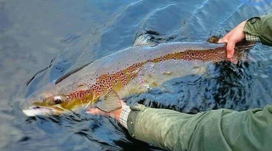 Odborníci volají po větší ochraně lososů. Vznikla petice za delší hájení klíčového úseku revíru