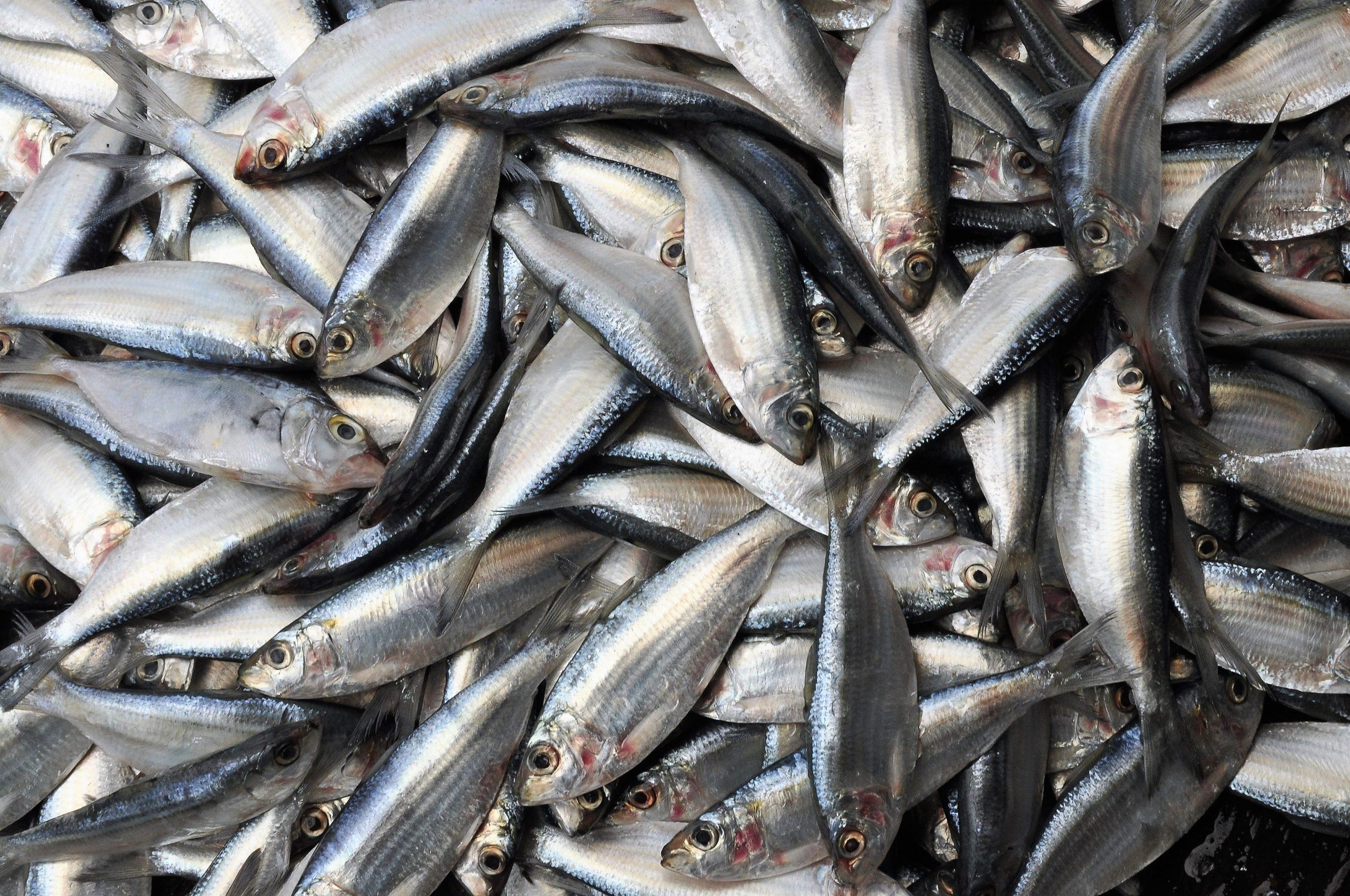 Zapomenuté garum aneb Evropská rybí omáčka