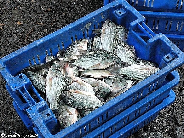 Zázračné biblické ryby: Co vlastně ulovil svatý Petr, patron rybářů?