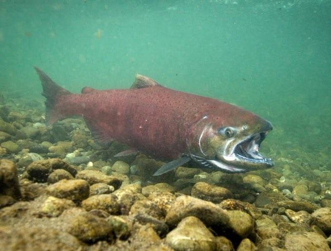 Kalifornští lososi se do oceánu povezou autem. Kvůli suchu