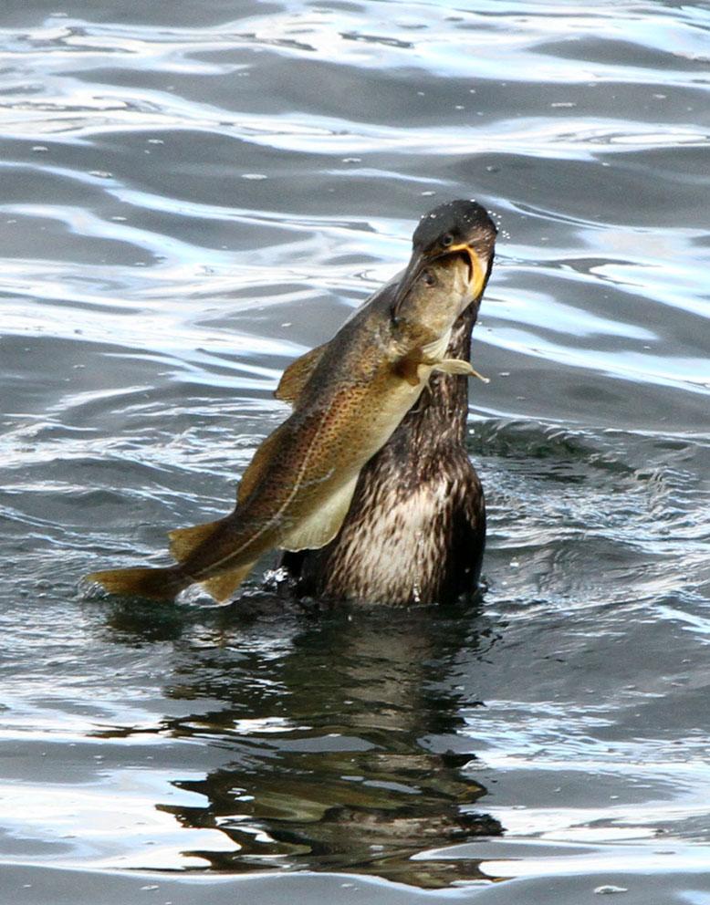OBRAZEM: Jak velikou tresku sežere kormorán?
