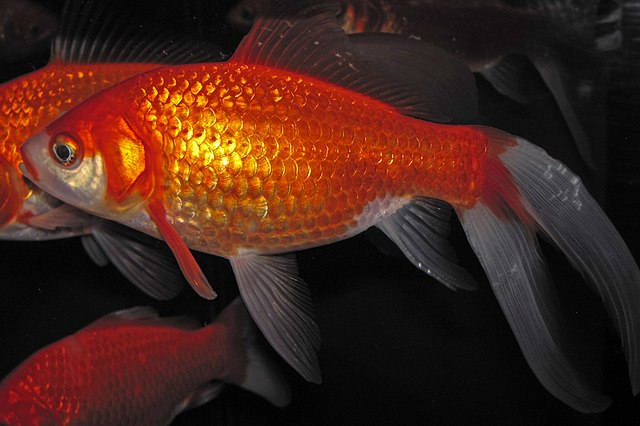 Z jiker akvarijní rybky se vykulí pětikilový kapr? Co způsobí tato nová vědecká metoda?