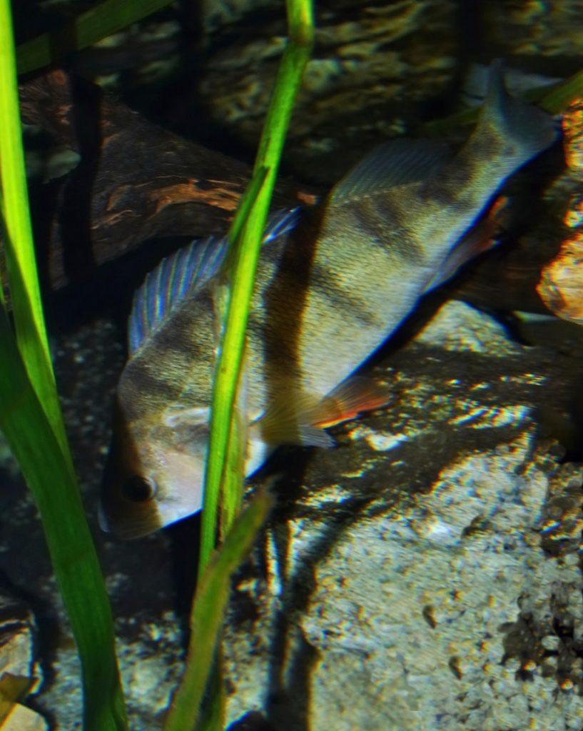 Jak se stát neviditelnou: Strategie maskování u ryb