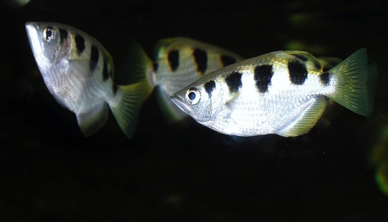 Rybí odstřelovači loví drobné živočichy důmyslným způsobem
