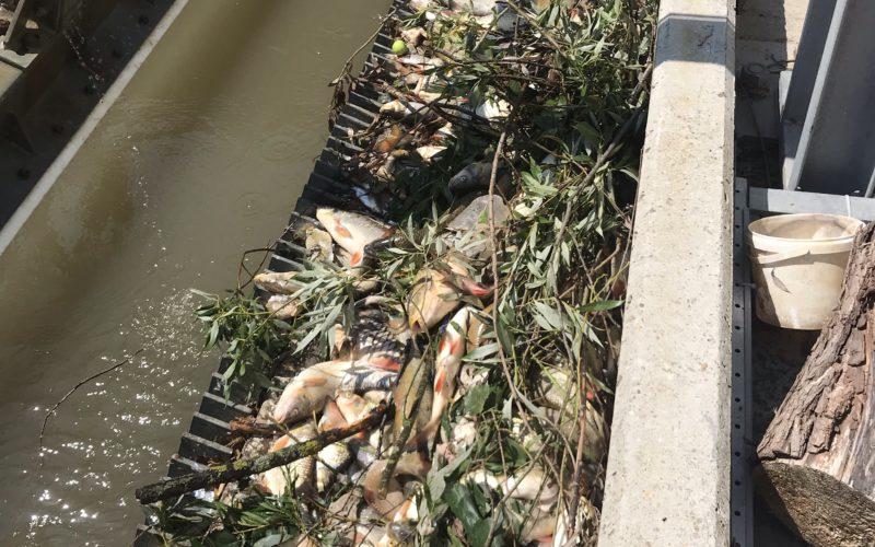 Otrávený Hron, den třetí: 5,3 tun uhynulých ryb, pokuta viníkovi až 4,2 miliony a nesnesitelný hnilobný zápach