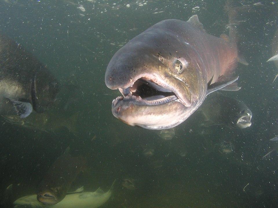 Těla pokryté lézemi, tisíce mrtvých lososů. Teplá voda amerických řek zabíjí ryby