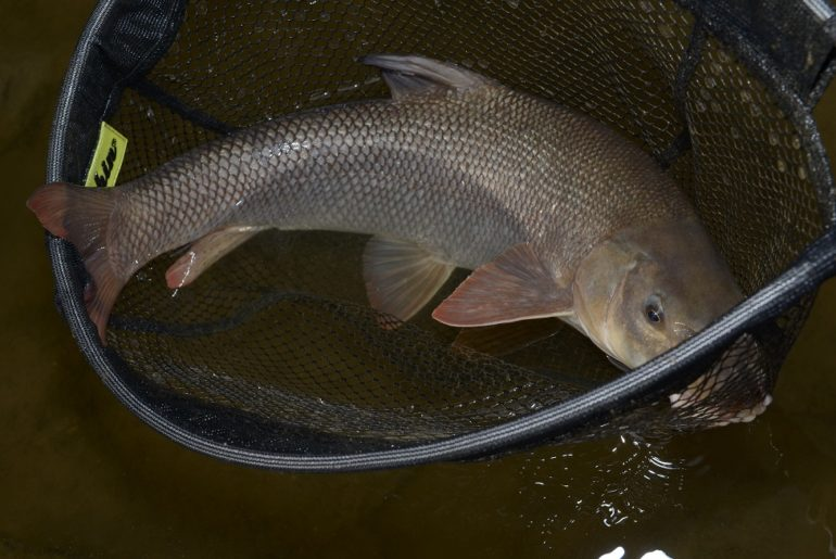 Zmrtvýchvstání otrávené Bečvy: Rybáři vysadili ryby za více než milion