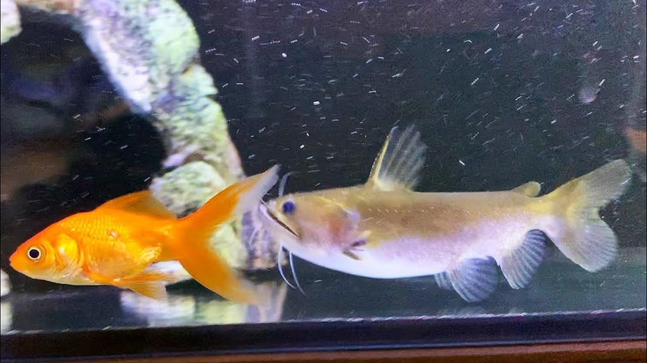 Nenažraný sumeček. Neuvěříte, jak velké ryby sežere! Není to tenhle?
