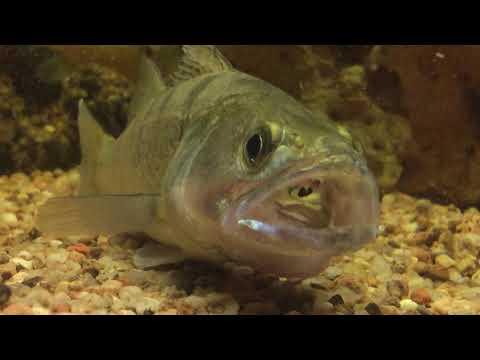 Jak loví candát? Polyká rybičku vždy hlavou napřed?