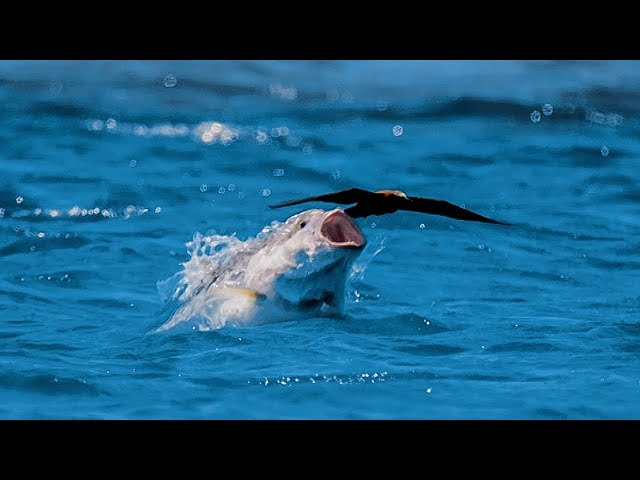 Neuvěřitelná podívaná: Jak loví kranas obrovské ptáky v letu?
