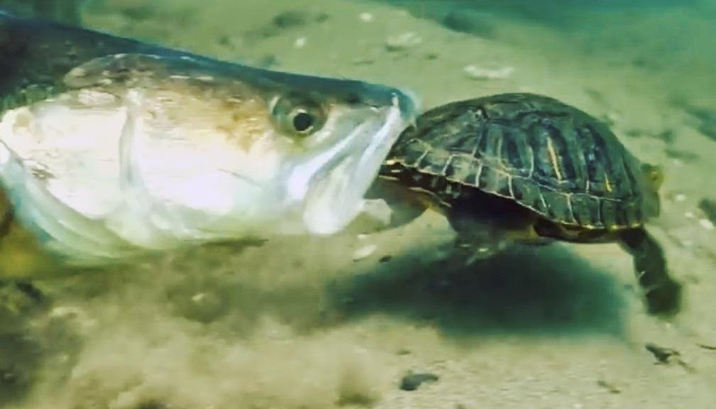 Neuvěřitelné záběry. Agresivní candát útočí na želvu