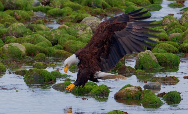 Už Indiáni ho uctívali pro jeho majestátnost. Jak loví ryby orel bělohlavý?