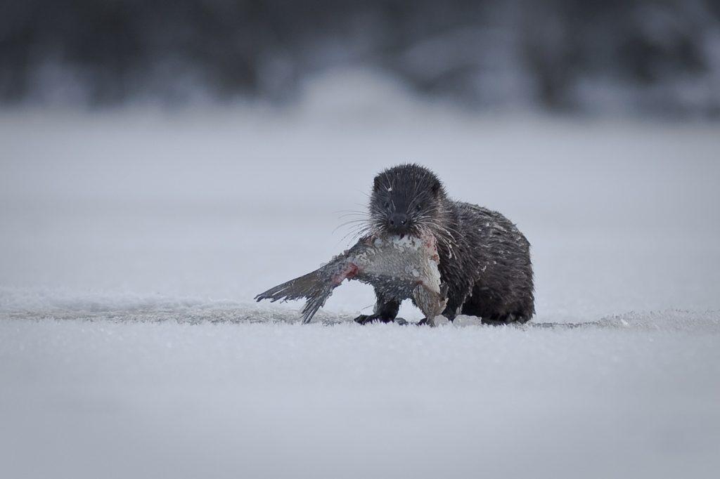 Nemilosrdný predátor na vrcholu sil: Kdo zachrání ryby před vydrou říční?
