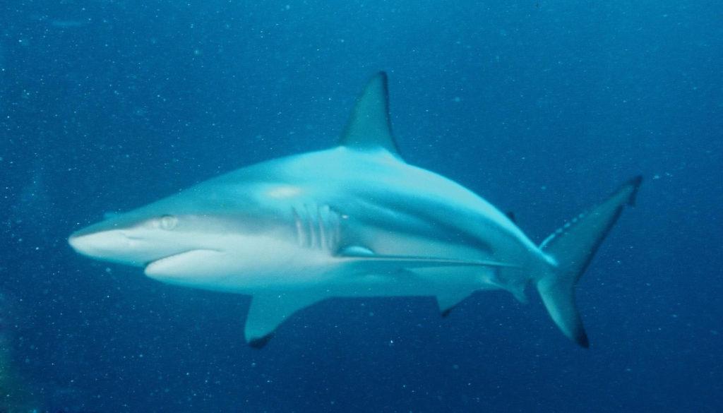 Drama při lovu žraloka: Rybářům ho na řece ukradl krokodýl