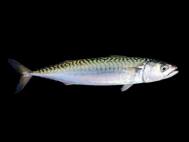 Konzumace ryb může zachránit pacienty s těžkým průběhem covidu