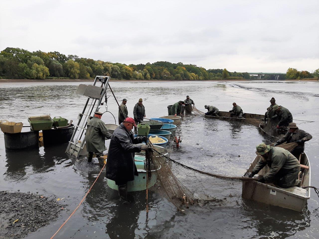 Z největšího pražského rybníka vylovili rybáři 2500 kaprů, 1000 línů, 360 štik nebo 35 sumců