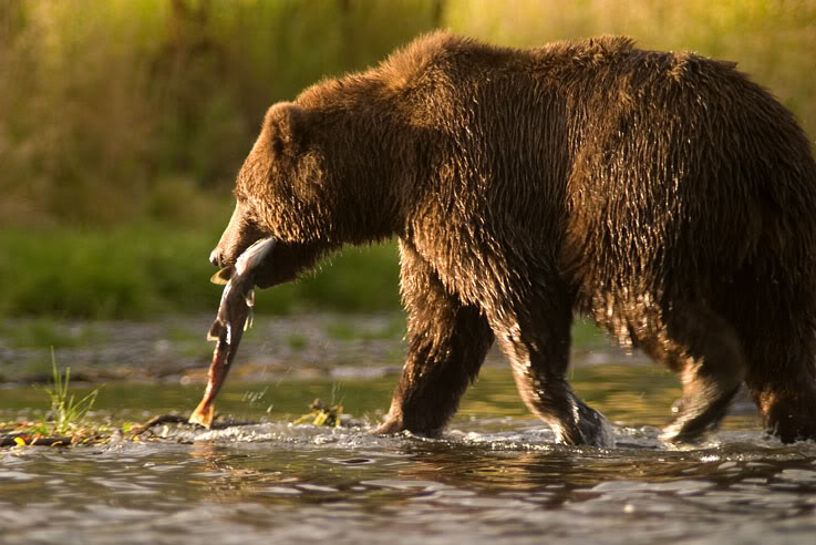 Tragický konec rybaření na Sibiři: Medvěd jednoho lovce zabil a těžce poranil známého boxera