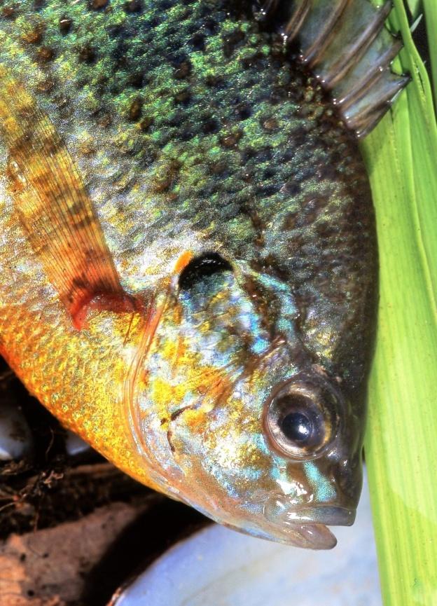 Hnízdění ryb na americký způsob
