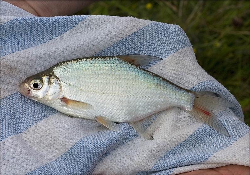 Věnujme se lovu bílých ryb