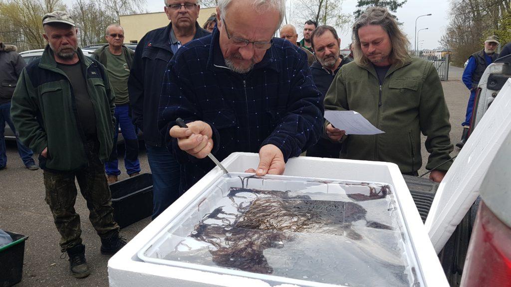 Vysazení úhořího monté do revírů MO ČRS Pardubice