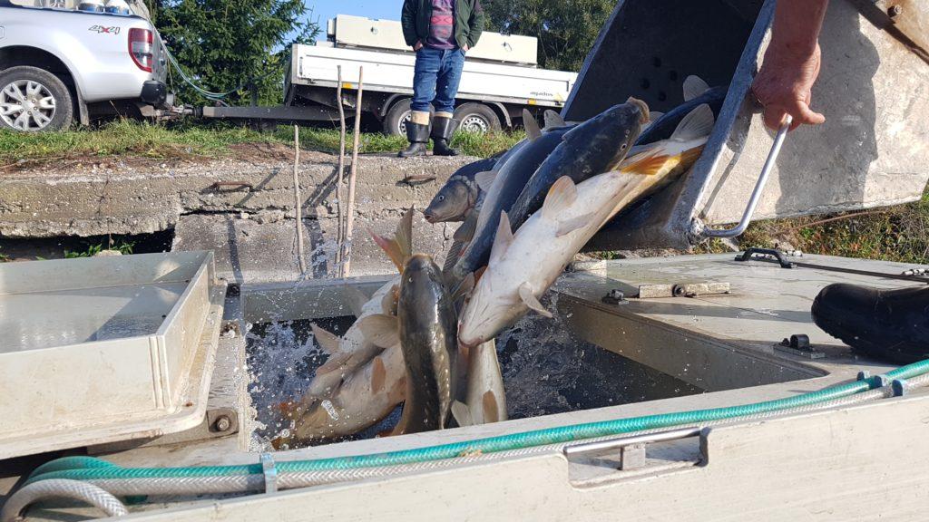 Distribuce ryb v období od 17.9 do 18.9.