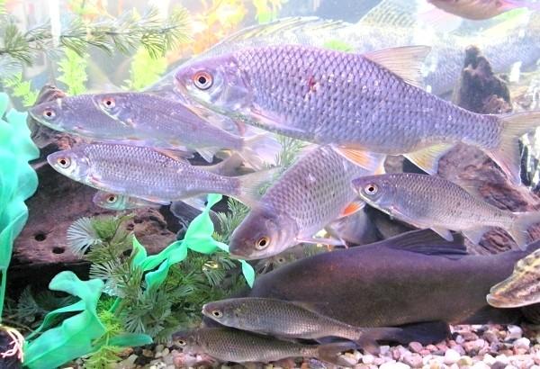 Plotice obecná v akváriu