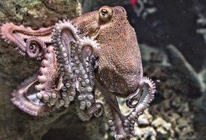chobotnice4