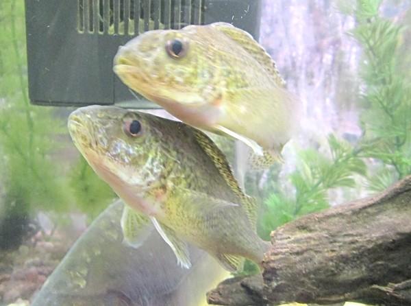 Ježdík obecný v akváriu, dva kusy