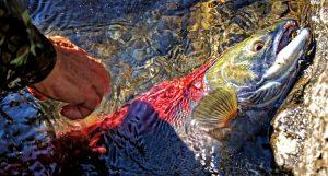 salmon-losos