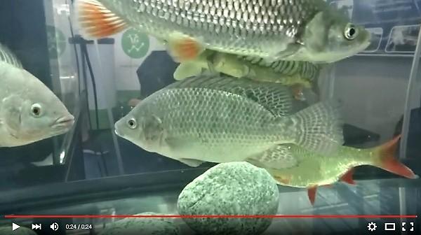 Tilapie v akvariu
