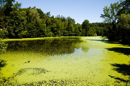 Zelené řasy na rybníku - ilustrační foto