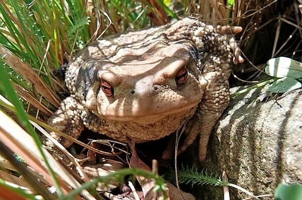 Ropucha obecná (Bufo bufo) - ropucha v trávě