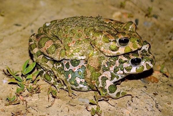 Ropucha zelená (Bufo viridis) - páření samce a samičky