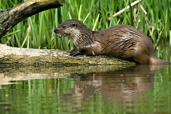 Vydra - vodní savci