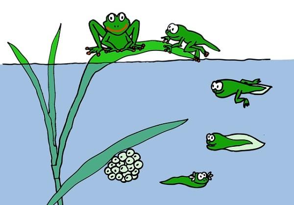 Vývajová stádia žab ....