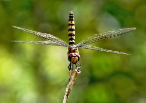 greater-crimson-glider-dragonfly-vazka-6