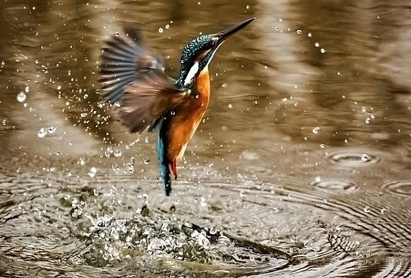 Ledňáček říční vyléta z vody po neúspěšném střemhlavém letu do vody za rybou ...