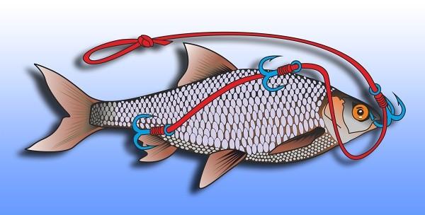 Nastražení živé ryby pomocí tří trojháčku - do proudu- se stava k podvodnímu splávku