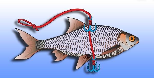Montáž živé rybky se dvěma trojháčky, jedním, který drží rybu, druhý zajišťuje zásek menších kusů