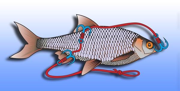 Nastražení ryby hlavou dolů, pro vyprovokování dravce k útoku aktvivním plácavým pohybem ryby.
