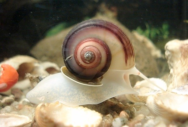 Okružák ploský v akváriu