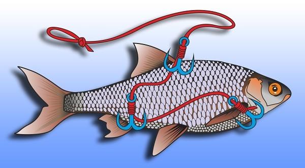 Způsob nastražení živé ryby pomocí tří trojháčků - zavěšení pod kačenu (splávek)
