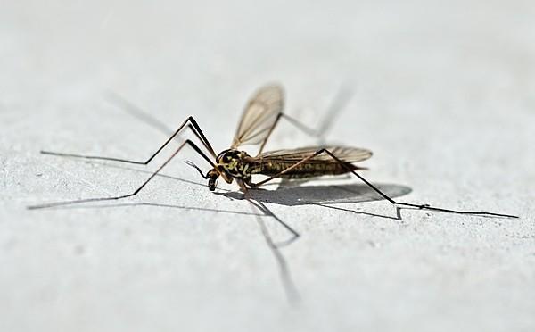 Tiplice (Tipulidae)