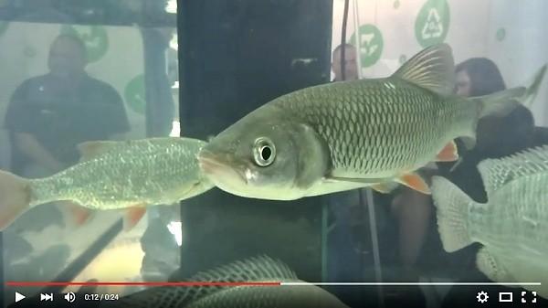 Tlousť a další sladkovodní ryby v akváriu