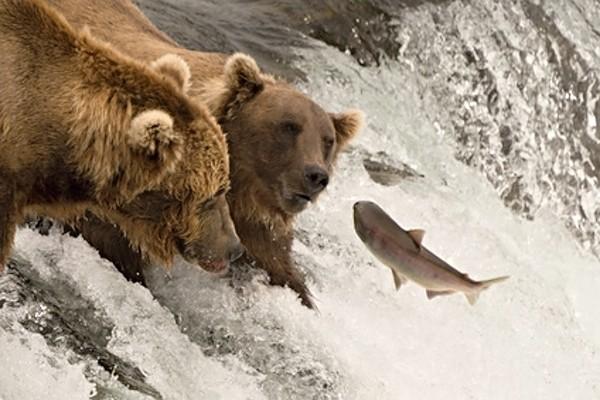 Medvědi loví lososy na Aljašce