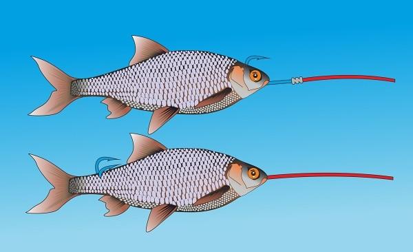 Detail nastražení mrtvé rybky při vláčení