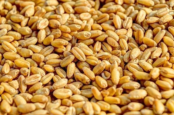 Pšenice - další z partiklů vhodný do krmných směsí